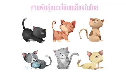 เรื่องแมวๆ พันธุ์แมวที่นิยมเลี้ยงมากที่สุดประเทศไทย