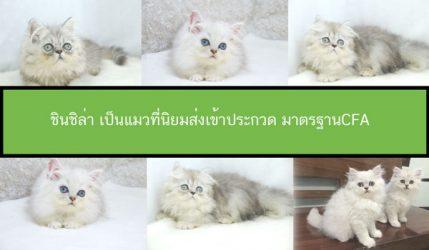 ชินชิล่า เป็นแมวที่นิยมส่งเข้าประกวด มาตรฐานCFA
