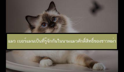 แมว เบอร์แมนเป็นที่รู้จักกันในนามแมวศักดิ์สิทธิ์ของชาวพม่า